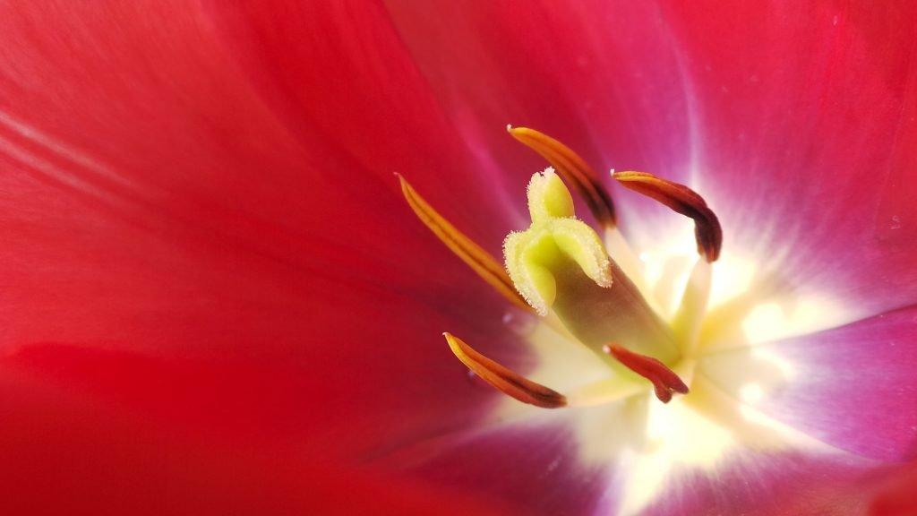 hollandse tulp japan celeste ortelee